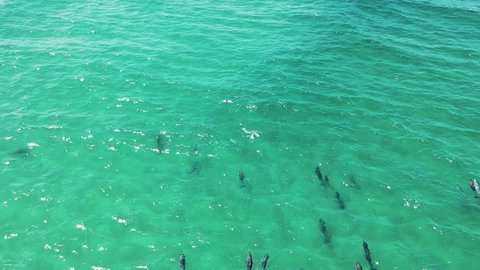 An aerial shot of dolphins swimming in the open ocean near the shore.