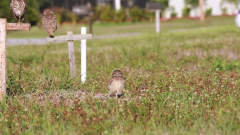 1st static shot of two young wild Burrowing Owls of Cape Coral, Florida, in their natural habitat of empty lots in a neighborhood. Owls look all around then one owl goes down into nest burrow.