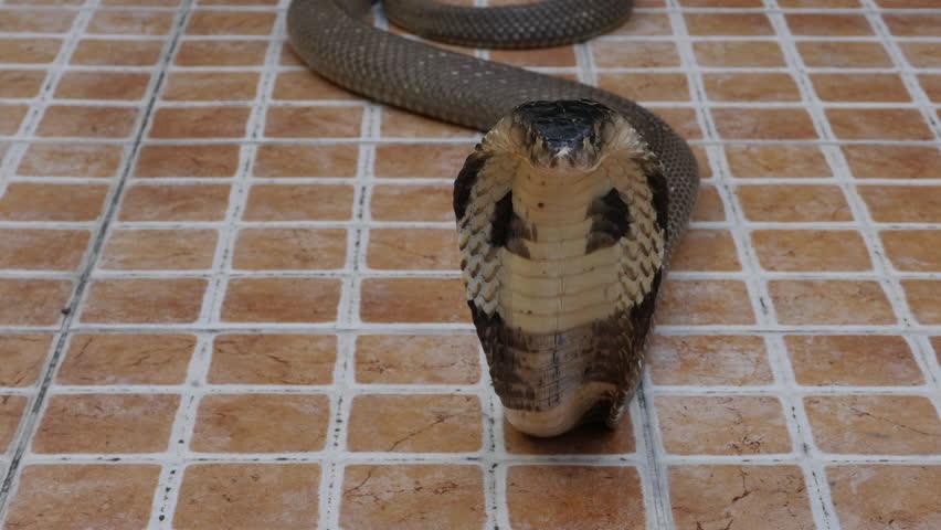 Cobra snake on the floor  | Shutterstock HD Video #1022689966