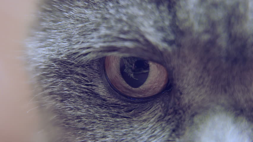 Macro shot of cat's face, close-up of eyes, nose and mouth, funny pet   Shutterstock HD Video #1022693716