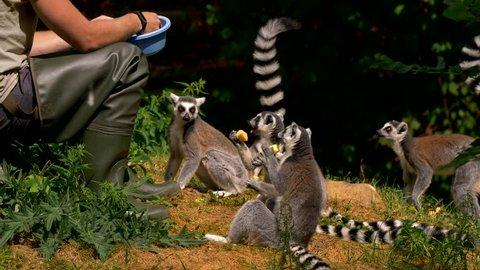 Feeding ring-tailed lemur (Lemur catta)