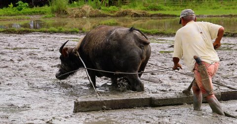 farmer in a rice field with Buffalo, philippines