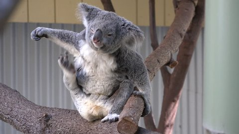 Mid shot of Australian Koala Bear scratching itself under its arm.