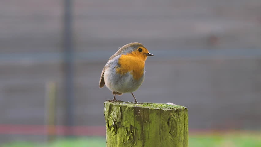 Close up view of a Robin stood on a tree stump. | Shutterstock HD Video #1023220516