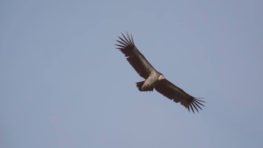 Himalayan griffon soaring in clear blue sky with fully wingspan in the morning light,HD slow motion . Huge vulture in flight,low angle view.  #1023319546