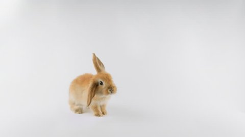 Brown rabbit, stands up on two legs, sniffing, looking around, isolated on white background