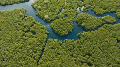 aerial footage mangrove tree forest and river Mangrove jungles, trees, river. Mangrove landscape. Philippines.