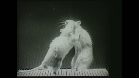 1940s: Two rats get electrocuted by grid on the ground, attack each other, the shock stops, they stand, shock starts, they attack each other again, rat falls, the other stands on top, shock stops.