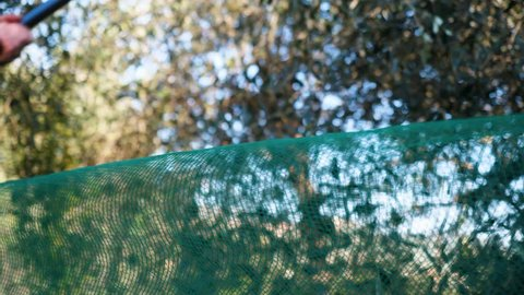 Male harvesting fresh green olives from european olive trees using a modern  tree limb shaker machine with large green mesh netting catching the produce  as it falls on a sunny day
