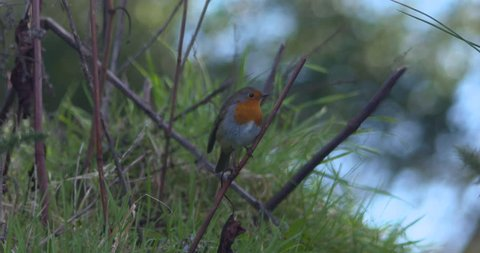 Robin red breast bird perched on twig branch flying away slow motion