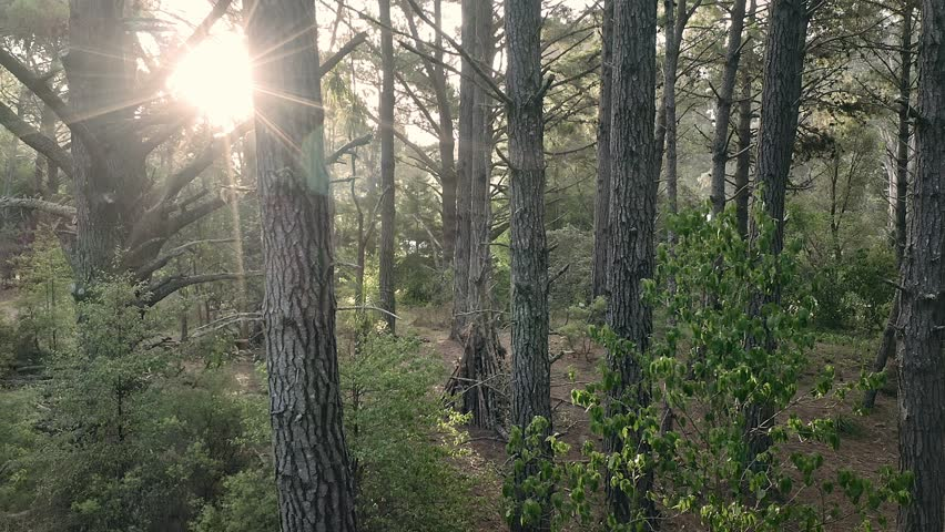 Aerial: Sun shining through trees in a pine forest interior giving a surreal dreamy feel. Opoutere, Coromandel Peninsula. New Zealand    Shutterstock HD Video #1024381016