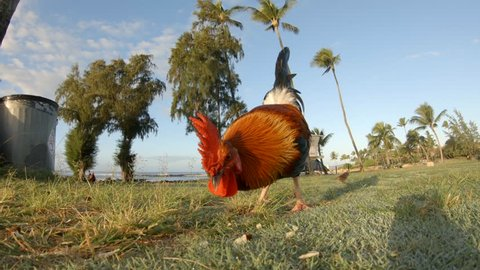 Colorful rooster in Kauai looking for food. Feral chicken in beach park with palm trees, lifeguard tower in Hawaii. Early morning beautiful sun and light. Prancing, pecking long tailed feather