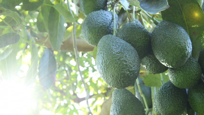 Branch of natural hass avocados hanging in a avocado tree at backlight