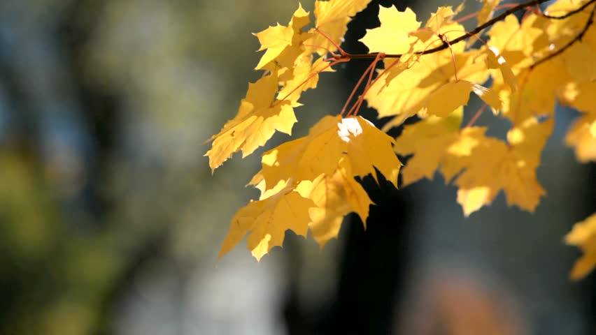 Autumn background-yellow maple leaves in the city Park  | Shutterstock HD Video #1024811936