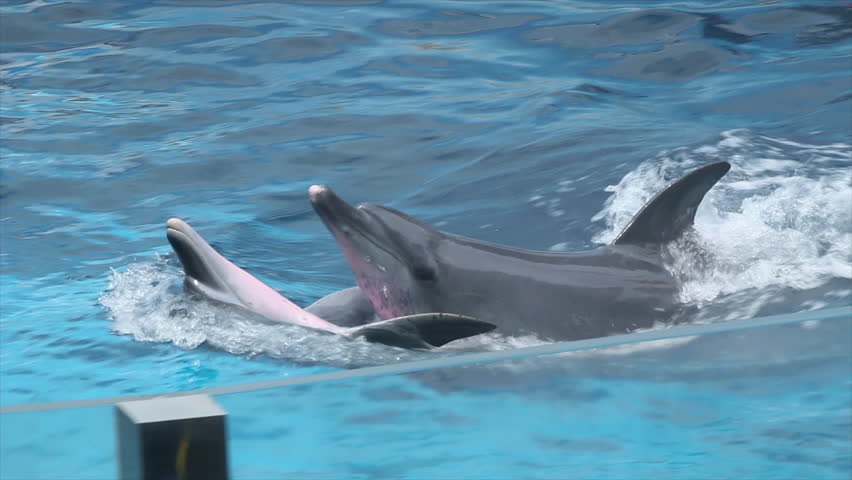 Dolphins swimming in the water. #1024957526