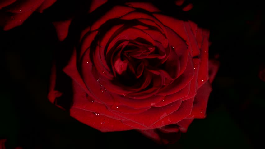 Red rose composition, with water drops  for edit and experiments | Shutterstock HD Video #1025004296