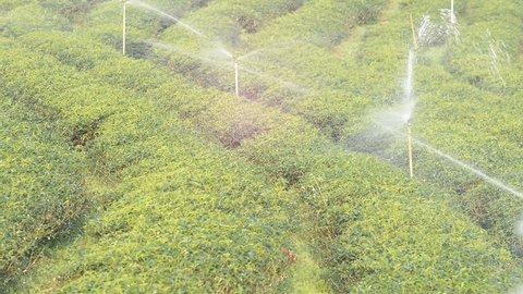 Sprinkler on tea plantation.Sprinkler system in green tea farm on mountain. Growing green tea and water sprinkler.Moisturizing in tea plantation with water.Water flow out by sprinkler.