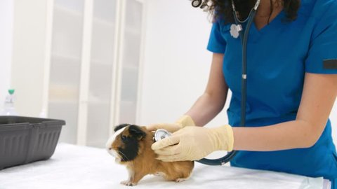 Veterinarian doctor making a checkup of a guinea pig using stethoscope while sitting on her desk in vet clinic