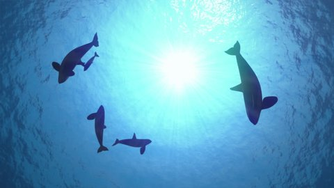 Underwater shot of a pod of killer whales (orcas orcinus) circling the sun in blue ocean - seamless looping high quality 3d animation