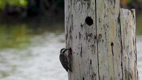 Footage of The birds (Sunda Pygmy Woodpecker) - Get rest and leave the nest.
