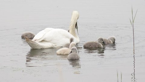 swan with cygnets swimming in the lake and search feed