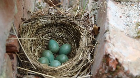 Nest with six eggs clutch of thrush - the Redwing (Turdus iliacus). Lapland