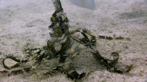 Rare footage of a Feather Star (Crinoid) walking on the sand Filmed with Canon HF G25 in Gates Underwater housing HD 1080