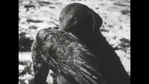 1930s: Dog holds dead goose in its mouth. Dogs run backwards in snow holding geese in mouth. Dogs pick up geese dead on ground. Dogs run backwards on snow.