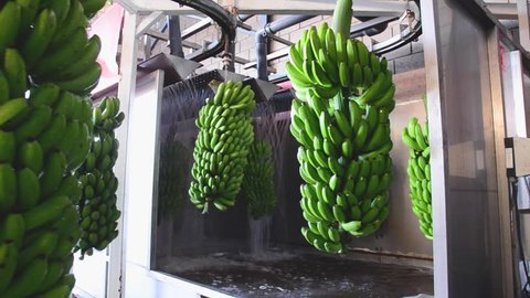 Bunches of banana hanging in a washing machine in food packaging industry .