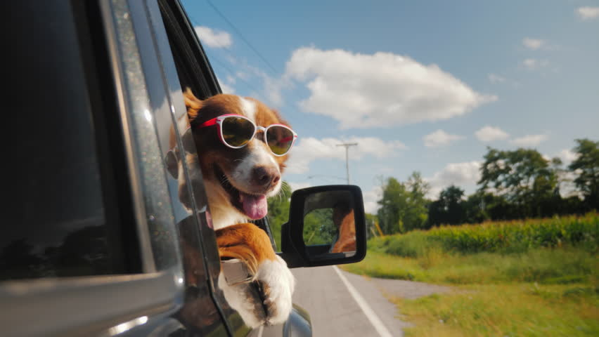 The dog goes to summer vacation, she has sunglasses, looks out of the side window of the car