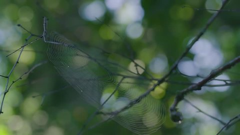 The perfect spiderweb on the black branches of a tree in the forest, after the rain. On blurred background with camera lens flare. Slow motion shot.