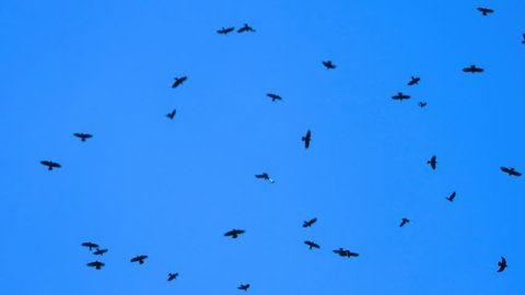 crows flying on a blue screen