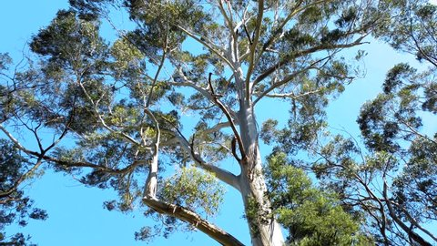 The camera is pointed into the canopy of a mighty eucalyptus tree. Strong gusts of wind thrashing the leaves about. The wind knocking of bark and leaves, which twirl gracefully to the ground.
