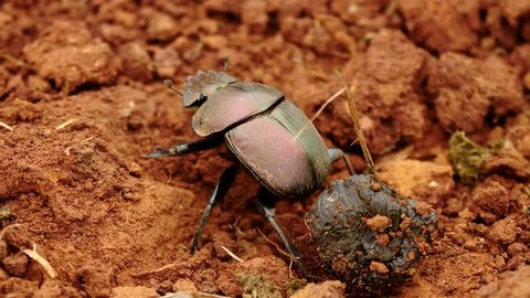Slow motion close up dung beetle crawling around in red sand dirt near animal droppings, then extends wings and flies away