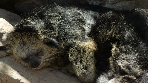 Binturong or Bearcat sleeping peacefully - Arctictis binturong