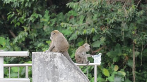Woodlands / Singapore - March 23rd 2019: Monkeys can be seen loitering around at the road side on every afternoon.