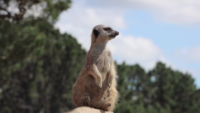 Cute Meerkat Searches Surroundings For Tribe #1026214796