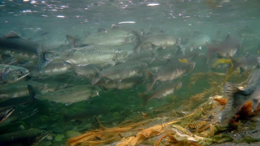 School of salmon fish underwater of Sea of Okhotsk.