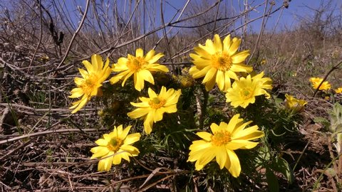 Adonis (Adonis vernalis) is a perennial herbaceous plant that blooms in early spring in the wild steppes of Eurasia. (Ukraine, Odessa region).