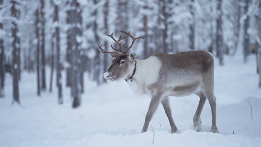 Slowmotion of a majestetic reindeer walking calmy in a snowy forest among other reindeer in Lapland Finland. | Shutterstock HD Video #1026346976