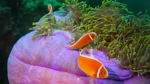 Clownfish swimming in the green purple beautiful anemone. Skunk anemone fish on the reef. Underwater animal video from scuba diving in the tropical ocean. Marine wildlife footage. Fish and coral reef.