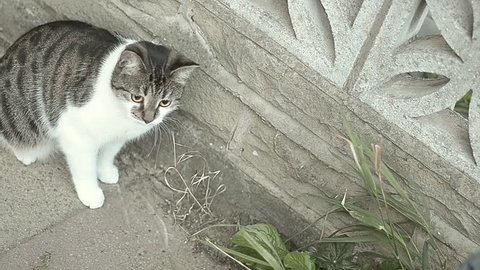 Tabby cat in the street eating grass