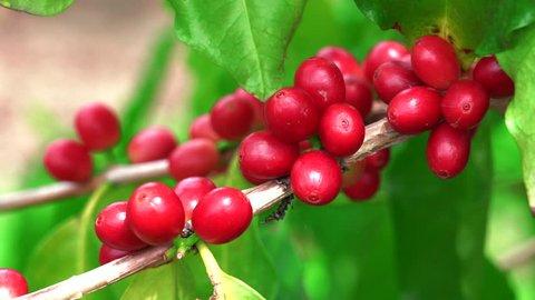 Ripe red Kona bean coffee tree Zoom out
