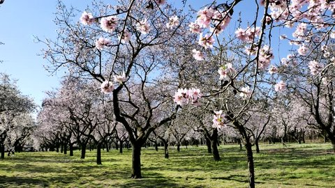 An overview video of almond trees in blossom with pink flowers in spring in Europe at the park of Quinta de los Molinos in Madrid, Spain in spring.