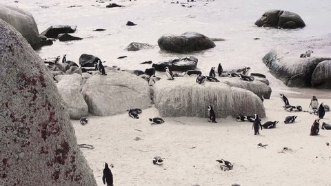 African Penguin Colony at the Beach in Cape Town, South Africa, Boulders Beach
