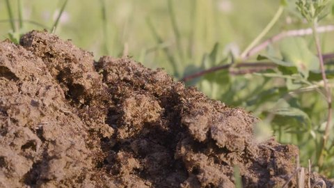 Red Fire Ant, horde of angry insect invaders swarm over new Anthill 4k
