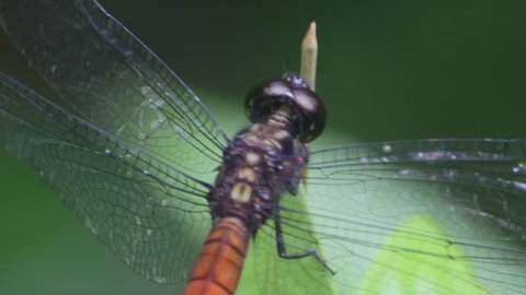 Dragonfly resting on leaf in jungle in Borneo, Malaysia