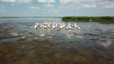 Pelicans nest on the lake, migration of birds, flight to the south