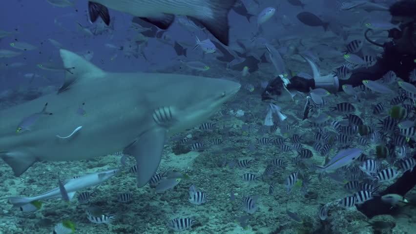 Feeding sharks from hands of diver underwater ocean of Tonga. Carcharhinus leucas gray bull shark in underwater marine wildlife of Pacific Ocean.   Shutterstock HD Video #1027370816