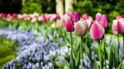 Footage of beautiful colorful red tulips flowers bloom in spring garden.Decorative tulip flower blossom in springtime.Beauty of nature and vibrant colors